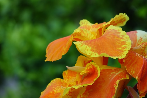 Orange flower with yellow edges with a defocused background