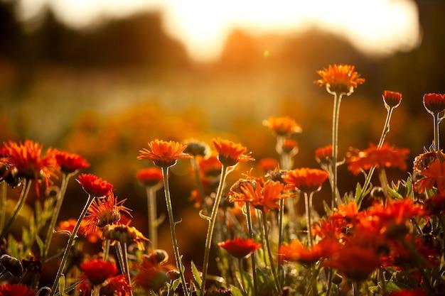 ぼやけた自然の背景にオレンジ色の花畑