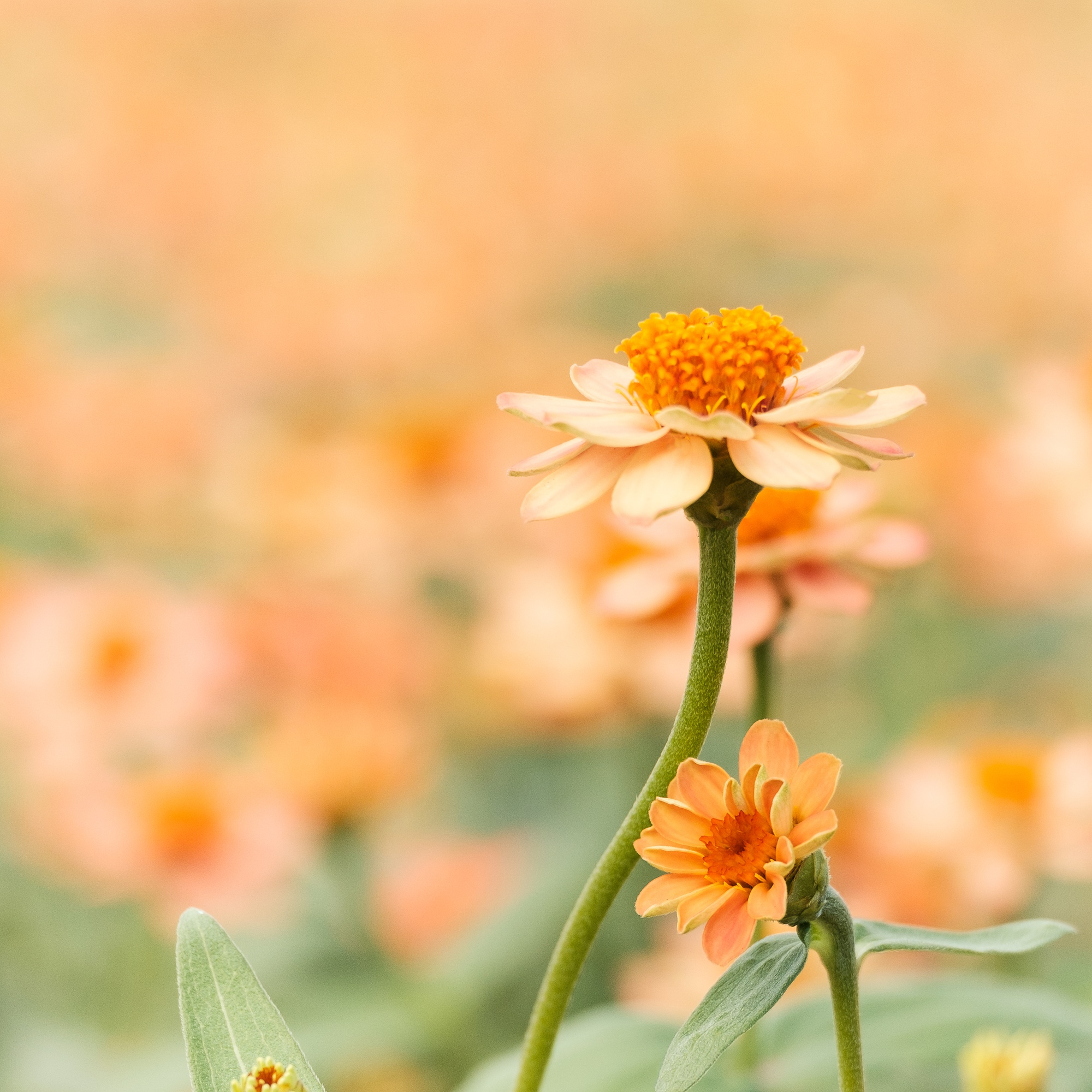 Orange flowers in the garden and a blurred background, AF point selection.