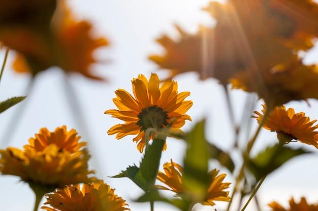 Оранжевые цветы в весенний сезон, оранжевые цветы для декора и для ландшафтного дизайна.