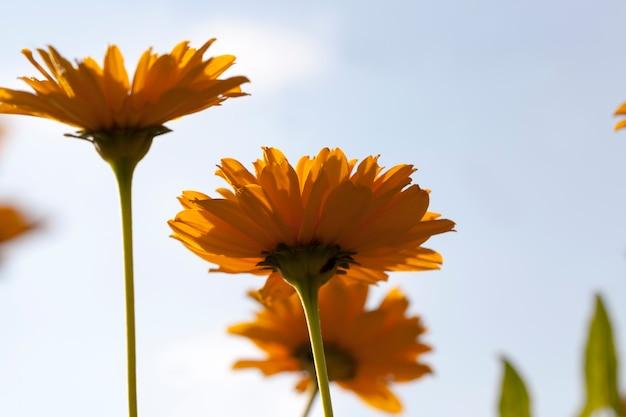 Оранжевые цветы в весенний сезон