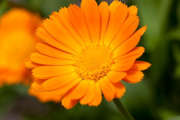 キンセンカのオレンジ色の花