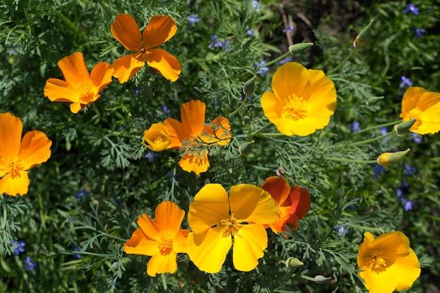 선택적 초점 eschscholzia californica 또는 캘리포니아 양귀비 근접 촬영의 오렌지 꽃