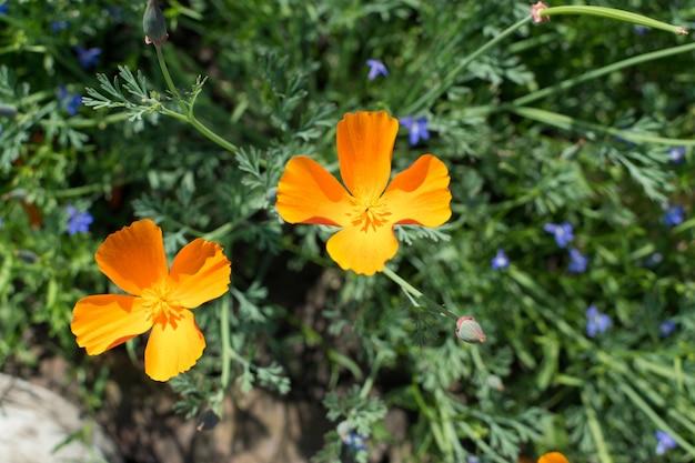 Eschscholzia californicaまたはカリフォルニアポピーのオレンジ色の花