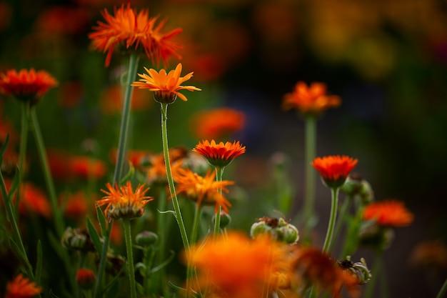 ぼやけた自然の背景にオレンジ色の花