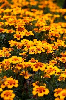 The orange flowers. small depth of sharpness