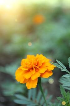 オレンジフレンチマリーゴールド(tagetes patula)、屋外