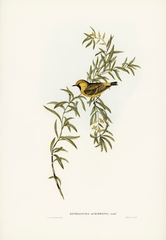 Orange-fronted chat (Ephthianura aurifrons) illustrated by Elizabeth Gould