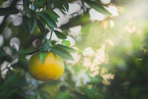 Orange fruit and leaves with morning light in bokeh background