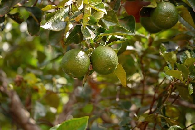 선택적으로 초점을 맞춘 citrus aurantium 종의 오렌지 과일