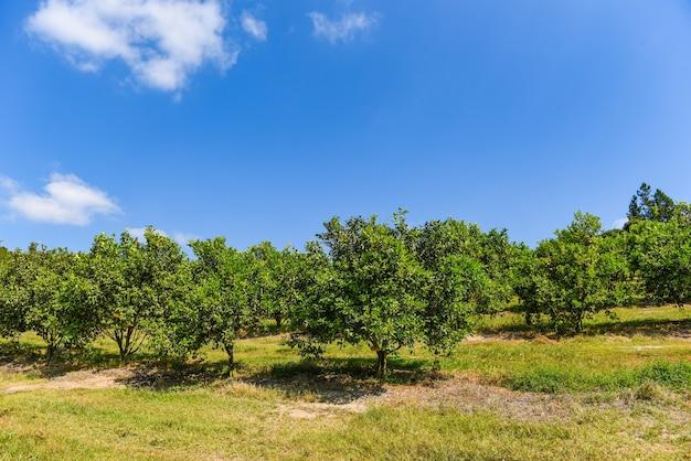 Плоды апельсина на апельсиновом дереве в летнем саду