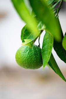 オレンジ果樹園