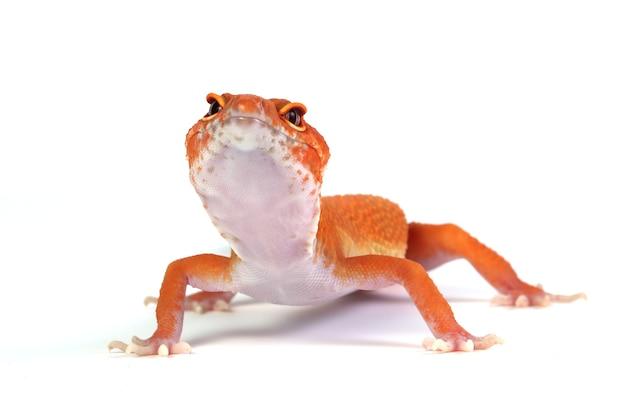 Orange gecko lizard on white surface eublepharis macularius animal closeup