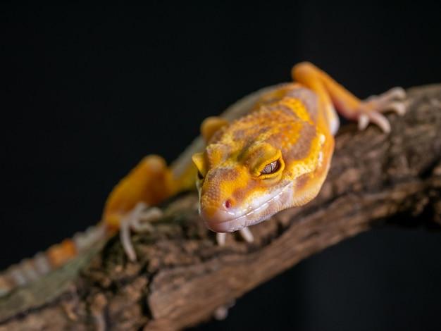 Orange gecko lizard on wood, animal closeup.