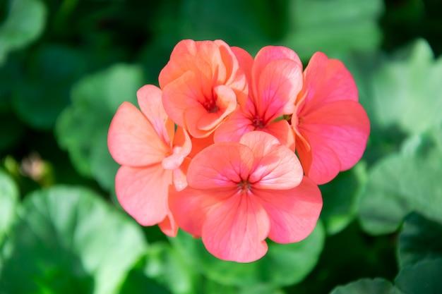 Orange geranium flowers in a summer garden