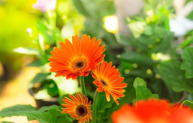 Оранжевый цветок герберы на размытом фоне зеленых листьев в саду.
