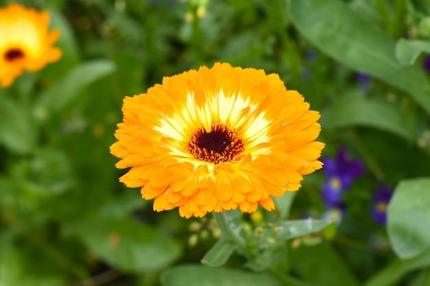 Оранжевый цветок герберы