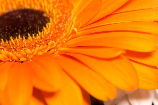 Orange gerbera macro