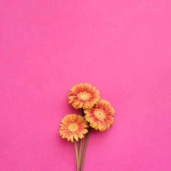 Orange gerberas on pink