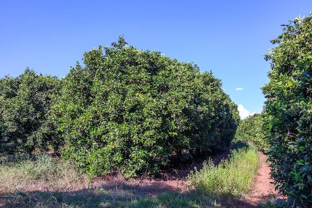 ブラジルのオレンジの木立-成熟した果物