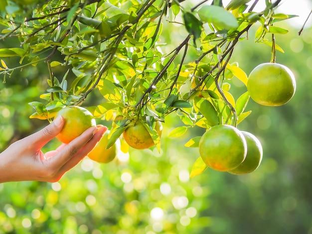 태국 북부 농부의 오렌지 과수원