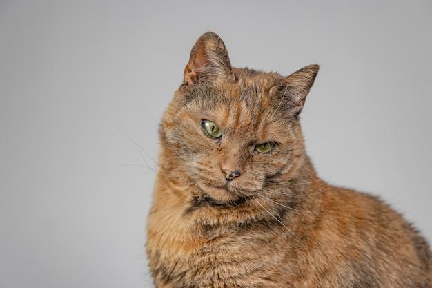 Оранжевый сварливый кот на белом