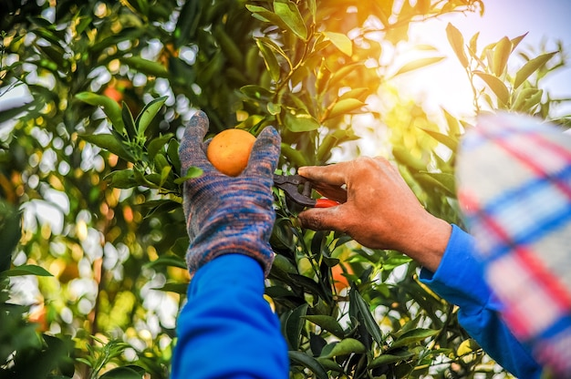 The orange and the hands of the orange gardener are made every day in his orange orchard.