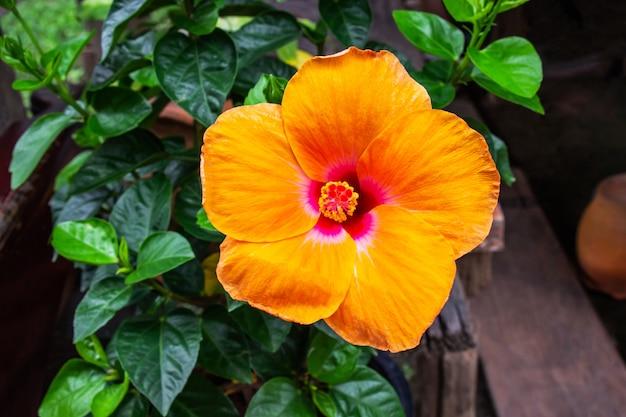 Оранжевый цветок гибискуса расцветает на фоне зеленого листа.