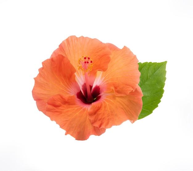 クリッピングパスによって白に分離されたオレンジ色のハイビスカスの花