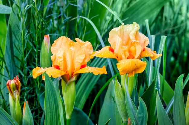 濃い緑に囲まれたオレンジ色の菖蒲。春と夏の花
