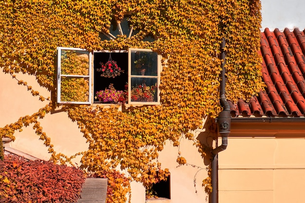 Orange ivy on old yellow house with open window