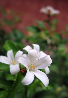 Orange jasmine flower in white color giving mild fragrance when blooming