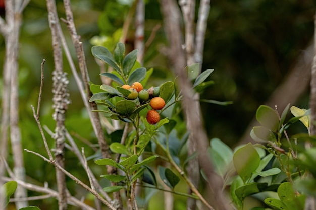 Orange jasmine plant of the species murraya paniculata with fruits and selective focus