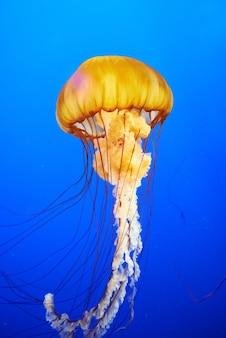 푸른 바다 물에 오렌지 해파리 (chrysaora fuscescens 또는 태평양 바다 쐐기풀)