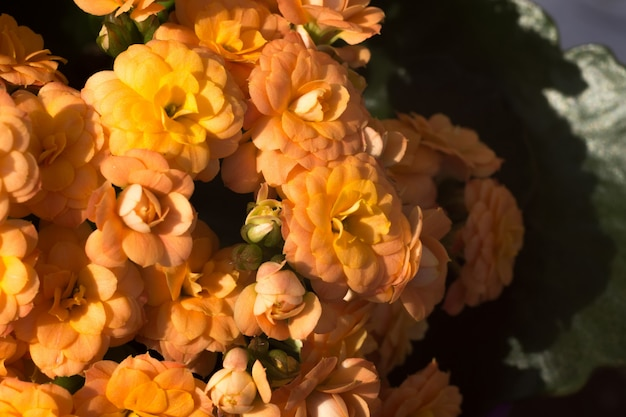 Orange kalanchoe flowers