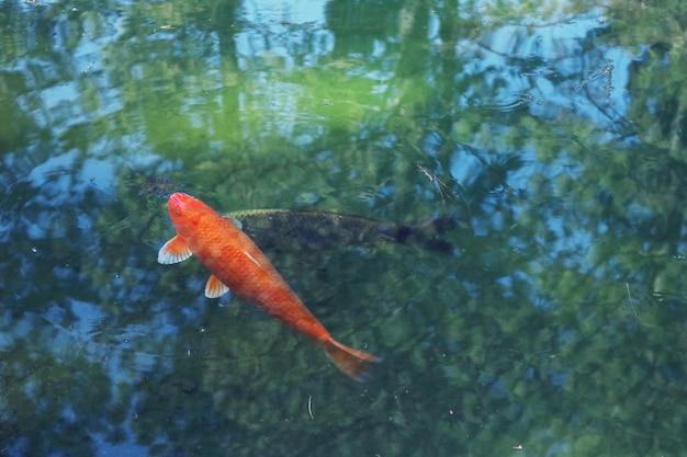 オレンジ色の鯉