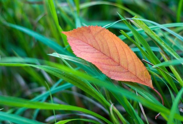 Orange leaf in the green grass.