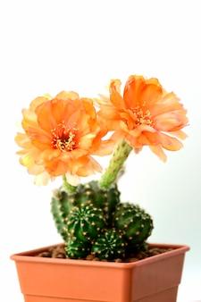 오렌지 로비 비아 종 꽃들
