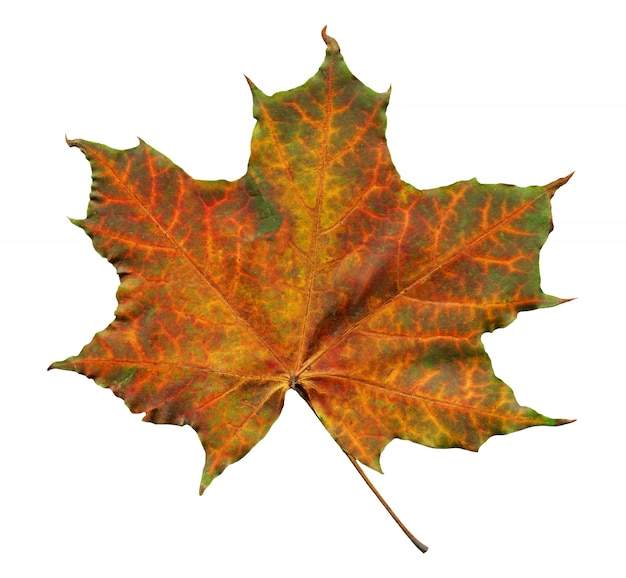 Orange maple leaf with green streaks isolated