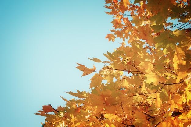 Оранжевые кленовые листья в красочном осеннем парке об голубое небо, ретро тонированное