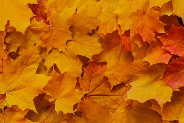 Оранжевые кленовые листья в парке осенью