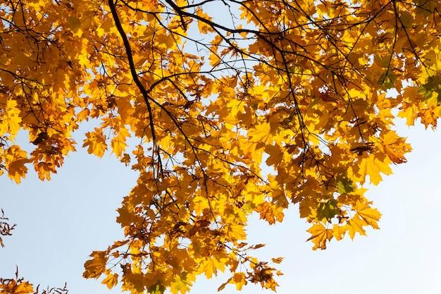 オレンジ色のカエデの葉