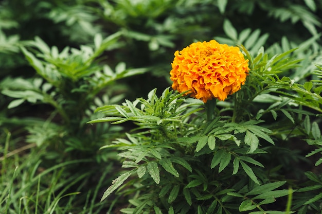 Orange marigold flower on green grass.