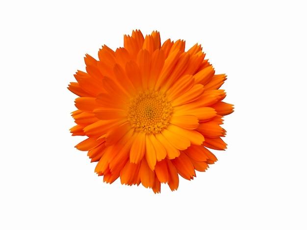 Оранжевый цветок календулы изолирован на белом фоне.