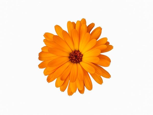 Orange marigold flower is isolated on a white background.