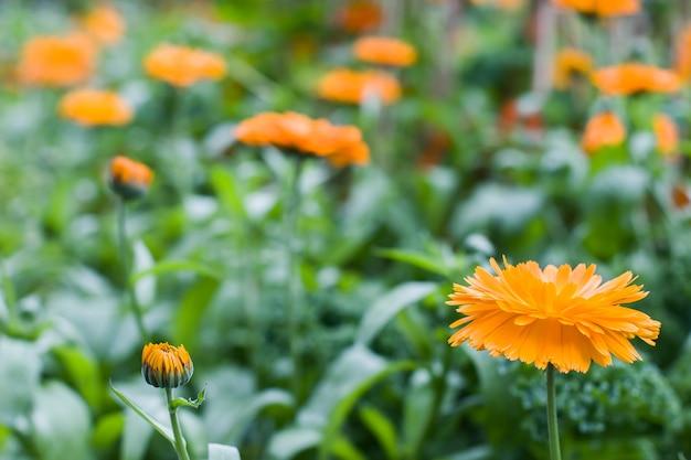 녹색 배경 흐리게에 오렌지 메리 골드 꽃