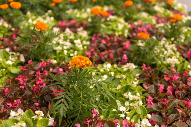 Orange marigolds in the flower bed. big meadow with flowers. focus on the front flower.