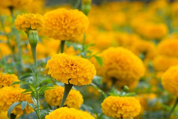 Orange marigolds flower fields, selective focus
