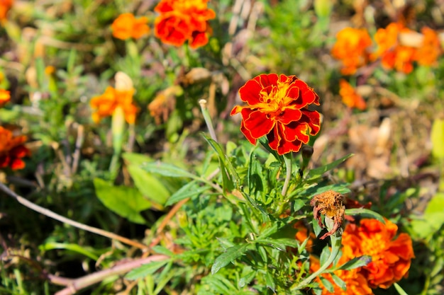 Orange marigolds in the garden