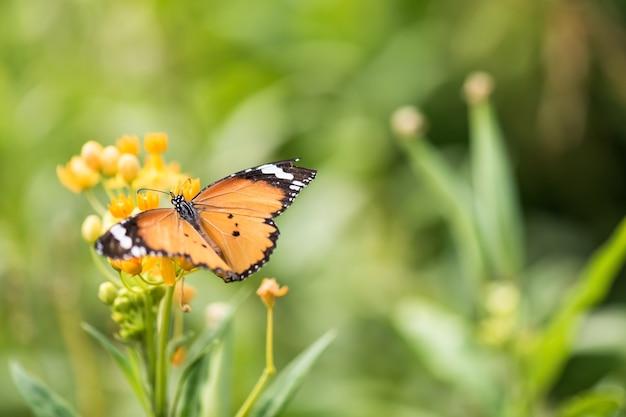 주황색 모나크 나비는 흐릿한 보케 꽃 녹지와 일출 배경이 있는 봄 정원의 노란 꽃 껍질을 먹고 있습니다. 텍스트 복사 공간이 있는 정원의 야생 동물.